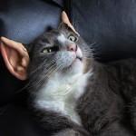 Il gatto vulcaniano