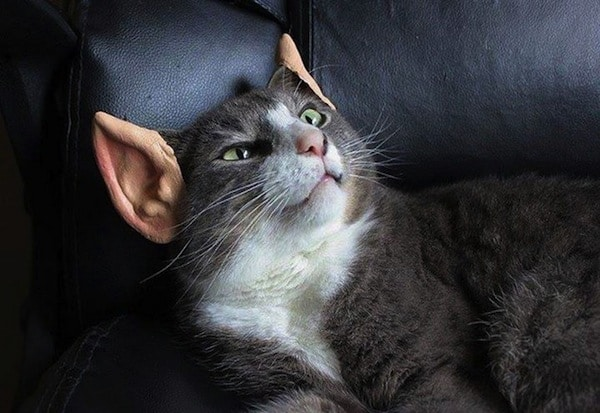 gatto-vulcaniano
